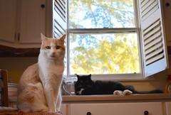 Otis and Batman (rootcrop54) Tags: otis dilute orange ginger tabby male cat batman longhaired tuxedo black kitchen counter shutters light morning neko macska kedi 猫 kočka kissa γάτα köttur kucing gatto 고양이 kaķis katė katt katze katzen kot кошка mačka gatos maček kitteh chat ネコ