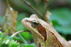 Grasfrosch (Aah-Yeah) Tags: grasfrosch froschlurch frosch rana temporaria frog achental chiemgau bayern