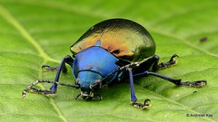 Leaf Beetle, Eumolpus sp., Chrysomelidae (Ecuador Megadiverso) Tags: andreaskay beetle coleoptera ecuador focusstack eumolpus chrysomelidae