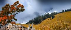 Spectacle d'automne (Didier HEROUX) Tags: automne autumn saison montagnes mountains paysage landscape alpes alps alpi alpen 74 flickt didierheroux heroux didier évasion rando balade randonnée hautesavoie annecy alpesdunord région france french francophile neige snow arbre tree novembre raw leica panasonic bois sapin 74000 2018