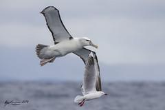 White-capped Albatross and Silver Gull (R. Francis) Tags: thalassarchecautasteadi whitecappedalbatross silvergull tassie tas tasmania tasmanpeninsula ryanfrancis ryanfrancisphotography eaglehawkneck continentalshelf
