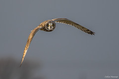 Short Eared Owl inflight (cogs2011) Tags: short eared owl inflight canon sigma 7dmarkll 150600c