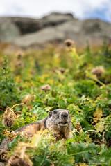 Hi there :) (cedant1) Tags: austria europe europa österreich mountain mountains alpes grossglockner cloud green marmotte marmot animal murmeltier hochalpenstrasse