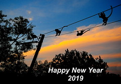 ,, Happy New Year - 2019 ,, (Jon in Thailand) Tags: monkeys apes primates jungle blue yellow red monkeytails nikon d300 nikkor 175528 happynewyear2019 themonkeytemple monkeyonawire clouds wildlife wildlifephotography morningsun sunrise