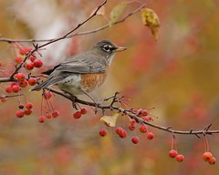 Bounty (Slow Turning) Tags: turdusmigratorius americanrobin bird perched crabapple tree branch fruit malussylvestris autumn fall southernontario canada