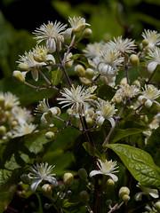 Clematis vitalba (Traveller's-joy) (Hugh Knott) Tags: clematisvitalba travellersjoy flora flowers anglesey wales uk ranunculaceae macro