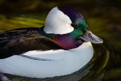 Bufflehead Duck (Bob Worthington Photography) Tags: zoo122918 sandiegozoo canon7dmarkii canon70200f28lisii