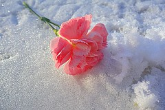 lost in the snow (majka44) Tags: snow winter pink flower light macro green macroword 2019 bokeh nice