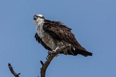 Shaking it off (ChicagoBob46) Tags: osprey bird yellowstone yellowstonenationalpark nature wildlife coth5 ngc npc naturethroughthelens