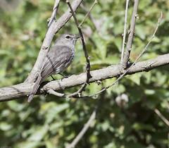 Dusky-brown Flycatcher (Muscicapa adusta)-6915 (Dave Krueper) Tags: africa aves bird birds dbfl flycatcher landbird muscicapidae passeriformes passerine southafrica