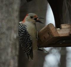 red bellied woodpecker eating (primpenny1) Tags: redbelliedwoodpecker bird wildlife