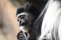 Baby Colobus monkey (maytag97) Tags: maytag97 nikon d750 tamron 150600 150 600 monkey colobus white black guereza mammal nature portrait animal wild family look funny profile zoo ape primate baby young youth oregon oregonzoo