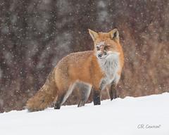 Red Fox (CR Courson) Tags: fox redfox mammal mammals wildlife wildlifephotography wildanimals ontariowildlife crcourson chuckcourson nikon naturephotography nature winter snow snowstorm