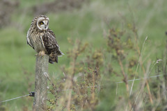 Perched Short Eared Owl (Ade Ludlam) Tags: short eared owl perched wwt steart marshes somerset uk november raptor bird prey nature wildlife nikon d7200 sigma sigma150600