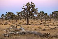 Mourner's ōidē (Ramen Saha) Tags: joshuatreenationalpark joshua joshuatree beltofvenus yuccabrevifolia nationalpark california ramensaha death