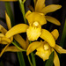 Cym. Hawaiian Gold – Jerry Spencer