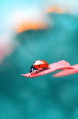 Ladybug (ElenAndreeva) Tags: floral gerbera blossoming flower beautiful beauty natural tree flora yellow red light garden color autumn macro magic fall focus colors colorful reading nature bug ladybug insect new top amazing day andreeva