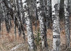 Nature's totems (KsCattails) Tags: aspen colorado kathrynkennedy kscattails rockymountains totem tree winter design shape faces bark
