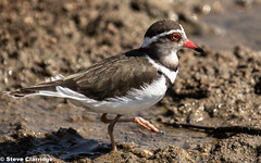 Three-banded Plover (Steve Clarridge) Tags: threebandedplover plover birds africanbirds africa