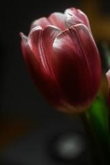 Tulip (mellting) Tags: eskilstuna lägenheten nikond500 platser skjulsta bloggad flickr instagram matsellting mellting nikkor5018 nikon sverige sweden tulip tulipa tulpan flower plant extensiontube