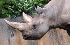 Rhino Portrait (Kaptured by Kala) Tags: fortworthzoo mammal criticallyendangeredspecies criticallyendangered posing closeup zoo fortworthtexas rhino blackrhino horns dicerosbicornis portrait