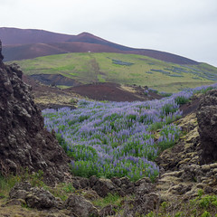lupines; Eldfell (eldan) Tags: eldfell heimaey iceland vestmannaeyjar lupine volcano exif:isospeed=400 geocountry exif:lens=olympusm1442mmf3556iir camera:model=em10 geo:lon=20259276666667 exif:focallength=34mm exif:model=em10 geostate geocity geolocation camera:make=olympusimagingcorp geo:lat=63440296666667 exif:aperture=ƒ51 exif:make=olympusimagingcorp