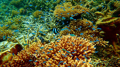 Snorkelling in Flic-en-Flac, Mauritius (Czech Traveller) Tags: flicenflac mauritius underwaterphotography chromis damselfish dascyllus coral