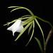 Brassavola nodosa 'White Star' (L.) Lindl., Gen. Sp. Orchid. Pl.: 114 (1831)