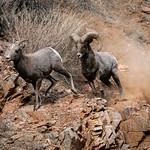 Mating Behavior - Bighorn Sheep thumbnail