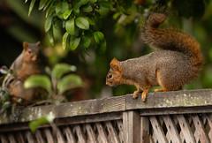 Loving Feeling (Dan Brekke) Tags: berkeley squirrels sciurusnigerrufiventer california alamedacounty