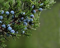Cedar berries (justkim1106) Tags: tree cedar juniper berries juniperberries bokeh blue nature naturebokeh green nativeplant allergen texastree