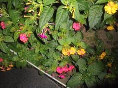 471 (en-ri) Tags: bekkadinotte jalapa mirabilis giallo rosa cespuglio bush sony sonysti