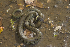 Grass Snake (wayne.withers1970) Tags: small pretty color colorful nature natural colour colourful wild wildlife wales snake flickr dof naturephotography country countryside outside outdoors alive fauna swimming canon sigma light black white brown water fine dark animal wwt llanelli reptile