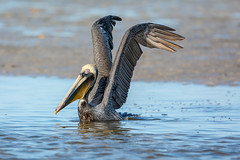 Victory sign? (ChicagoBob46) Tags: brownpelican pelican bird bunchebeach fortmyers florida nature wildlife ngc naturethroughthelens coth5 npc