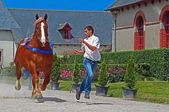Concours de beauté (Arnadel) Tags: concours cheval breton bretagne haras lamballe horse modèle et allure stud