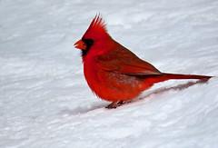 In the red (Meryl Raddatz) Tags: bird snow cardinal nature naturephotography canada