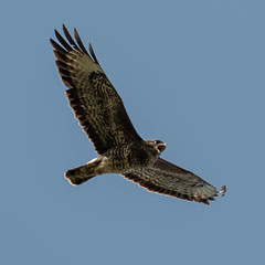 DSC_6941.jpg (dan.bailey1000) Tags: bird buzzard wildlife