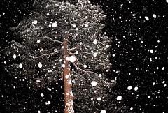 Big snowflakes (thomasgorman1) Tags: snow snowing snowfall tree pine conifer night dark white spots artistic flash nikon arizona overgaard az storm winter