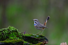 Luscinia svecica (jonus weng) Tags: luscinia svecica moss tail blue throat winter migratory birds siberia ngc