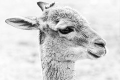 High Key Me (Alfred Grupstra) Tags: animal mammal nature llama cute outdoors wildlife closeup alpaca portrait animalhead fur brown grass looking nopeople andes animalsinthewild oneanimal hoofedmammal highkey light 857