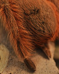 tarantula back (markusOulehla) Tags: spinneret spinnwarzen abdomen tarsus metatarsus nhandutripepii nhanduvulpinus fuchsvogelspinne braziliangiantblondebirdeater brazilianblondetarantula brazilianblonde braziliantarantula braziliangiantblonde theraphosidae arthropods spider tarantula birdeatingspider vogelspinne markusoulehla oulehla nikon nikonnature nikond90 naturthemensteige naturkundemuseumbielefeld namubielefeld naturkundemuseum naturhistorischesmuseum naturalhistorymuseum sonderausstellung specialexhibition gifttieretödlichelebensretter gift toxin medizin giftalsmedizin medikamente toxicanimalsdeadlylivesavers venomousanimals poisonousanimals toxicanimals venom poison rentableexhibition gifttierhauseimsheim
