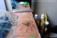 Hut Spider (Primeval Nature) Tags: cupiennius mindo ecuador southamerica cloudforest rainforest neotropical araneomorphae spider spiders wanderingspider ctenidae ctenid wildlife nature