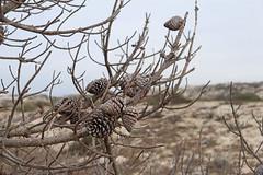 Pinecones (skipmoore) Tags: asilomar pinecone pinecones tree