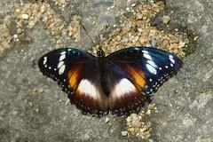 Franz * FILIGRANE BEAUTY . Kuranda Butterfly Sanctuary (Uhlenhorst) Tags: 2008 australia australien animals tiere travel reisen
