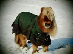 Das Schneepony - The snow pony (Ostseetroll) Tags: deu deutschland geo:lat=5404001506 geo:lon=1070509450 geotagged gronenberg scharbeutz schleswigholstein schneepony snowpony winter olympus em10markii