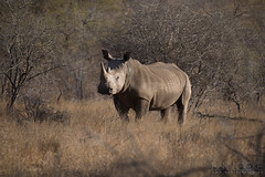 White Rhinoceros (Ben Locke.) Tags: whiterhino rhino rhinoceros wild wildlife nature africa southafrica