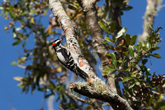 Downy Woodpecker (SReed99342) Tags: florida staugustine guanariver widlife nature downy woodpecker