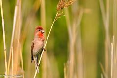 Common Rosefinch · Carpodacus erythrinus · dziwonia zwyczajna (tomaszberlin) Tags: polska ngc bw ng nikon poland animal bird wildlife nature d90 birdwatching ptak bokeh commonrosefinch dziwonia
