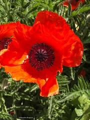 coquelicot-joli© (alexandrarougeron) Tags: photo alexandra rougeron flickr fleurs nature plante végétal végétale ville beauté couleur frais