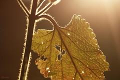 Lumière transpercante (Onnalua) Tags: minuscule macro petit vert green onnalua annarchie anna bunichon tamron lens 90mm f28 vi usd sony alpha slta58 lumière light winter